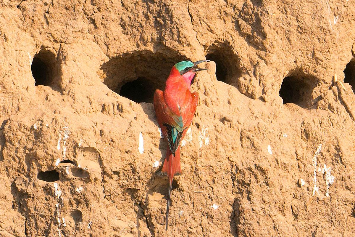 Carmine Bee-Eaters Nesting