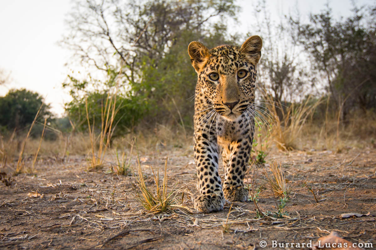 Leopard by Will Burrard-Lucas