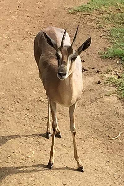 San Diego Zoo Antelope