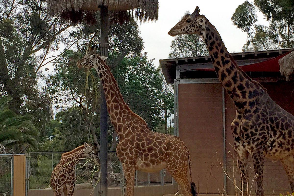 San Diego Zoo Giraffes
