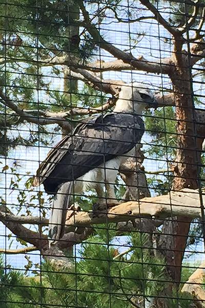 San Diego Zoo Kookabura
