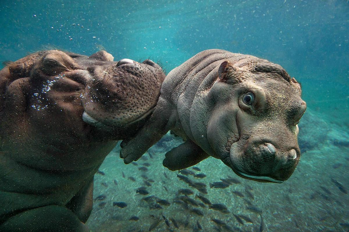 San Diego Zoo Hippo
