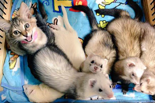 Kitten with Ferrets