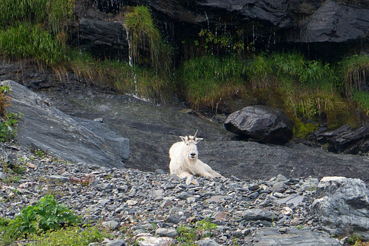 Mountain Goat of Alaska