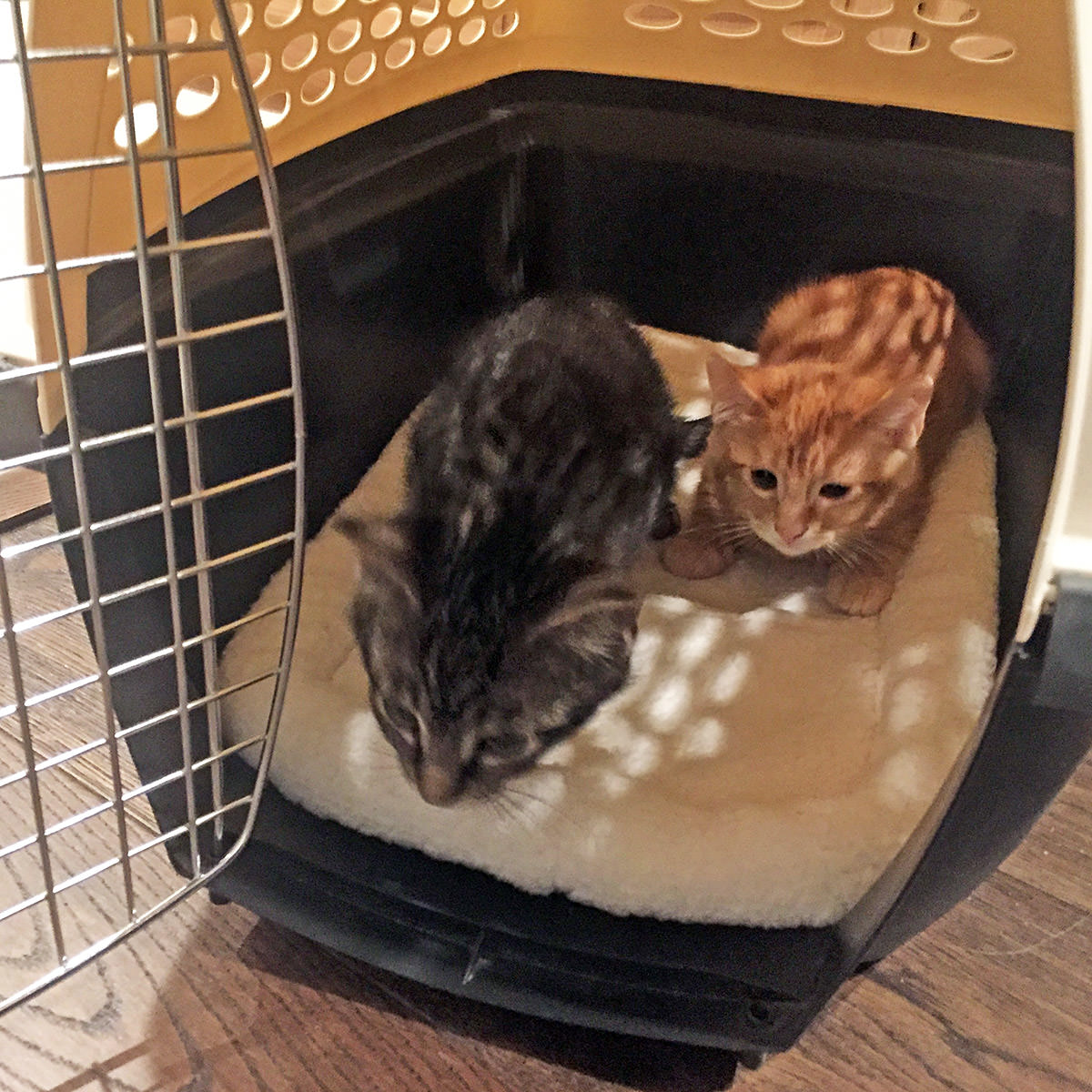 Jenny & Jake as baby kittens hesitantly looking out of the kitty carrier they were in.