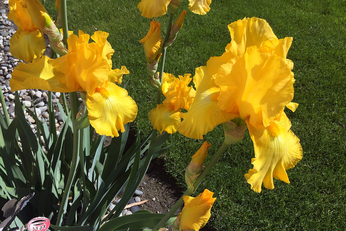 Yellow Irises!