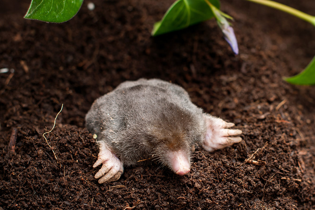 Moles Are Cute... Photo from Adobe Stock!