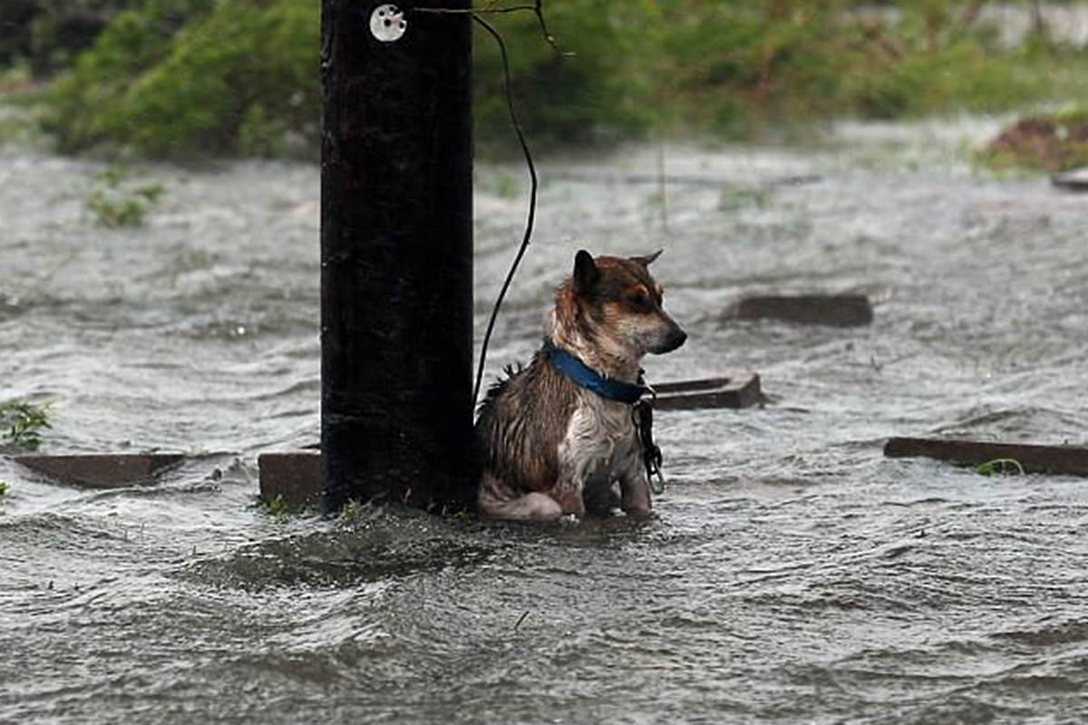 Abandoned Puppy Chained to a Pole in Floodwaters