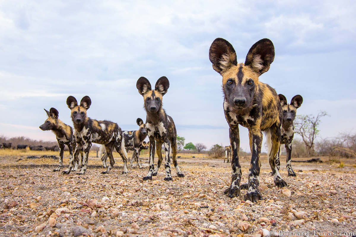 African Wild Dogs by Will Burrard-Lucas