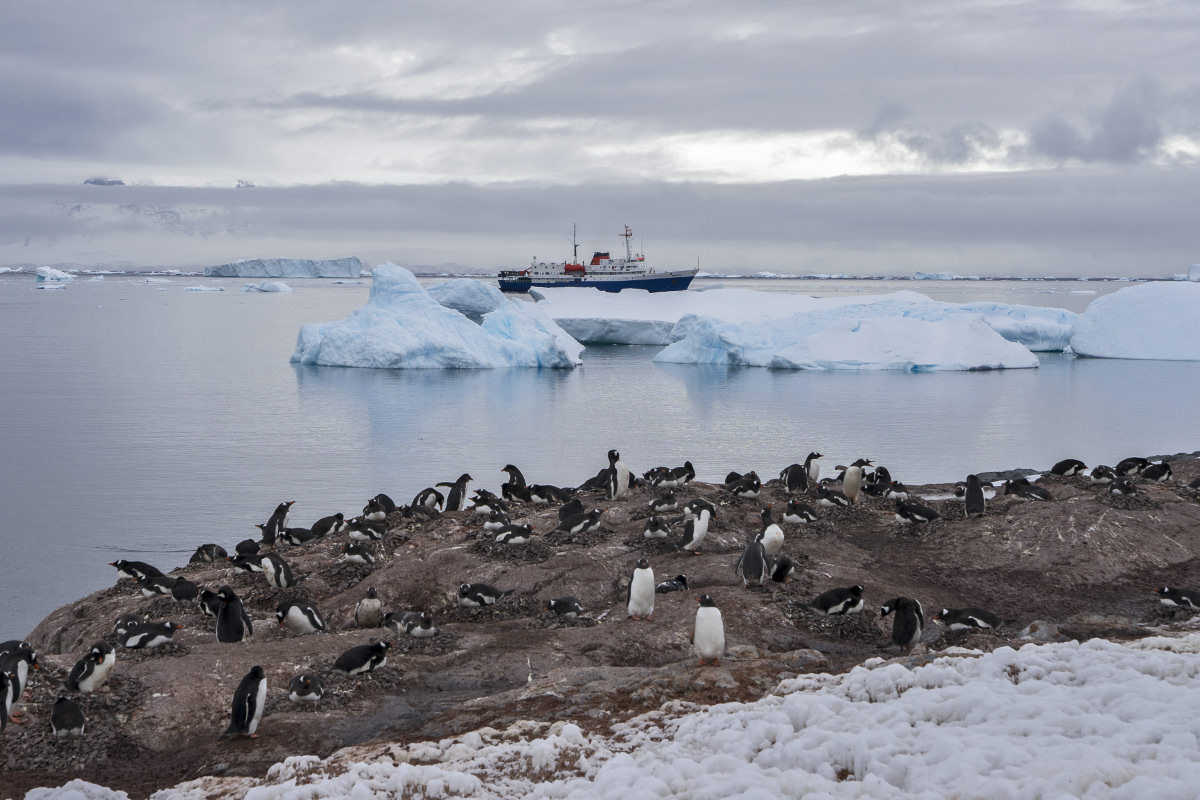 Cuverville Island Gentoo Penguins