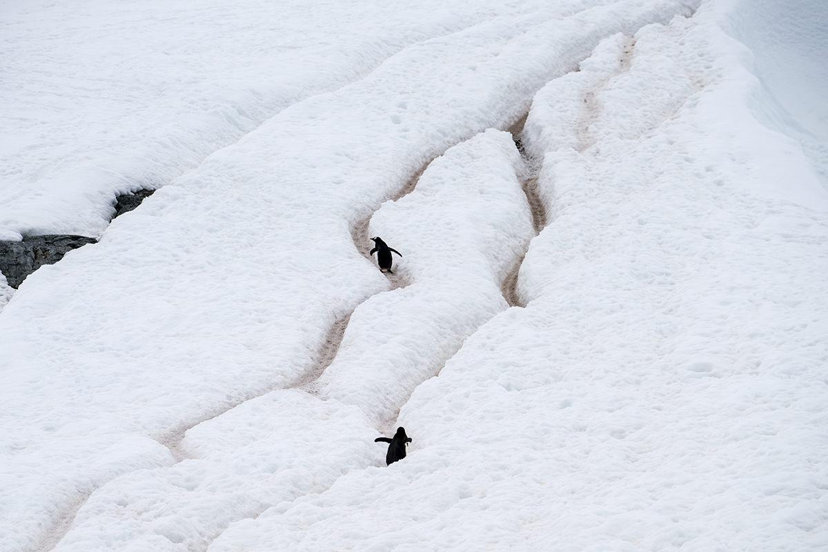 Cuverville Island Gentoo Penguin Highway