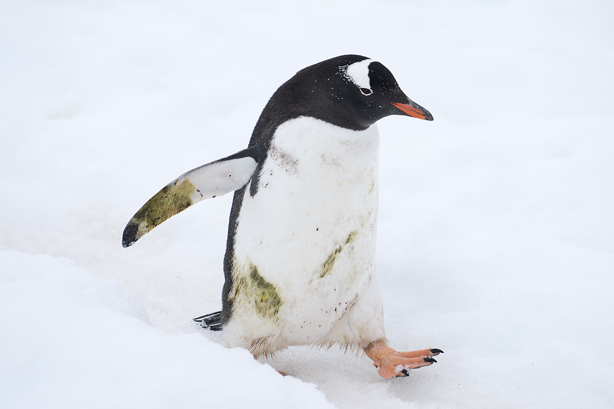 Cuverville Island Gentoo Penguin Bath