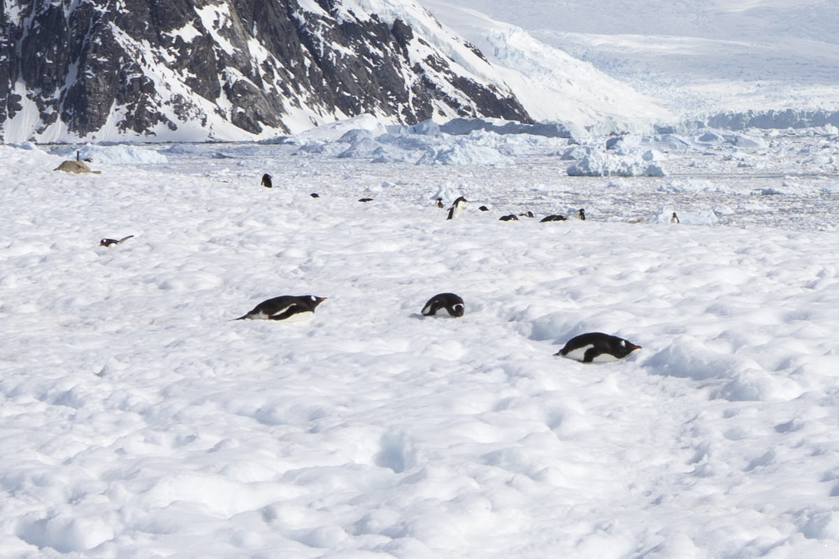 Neko Harbor Penguins, Antarctica