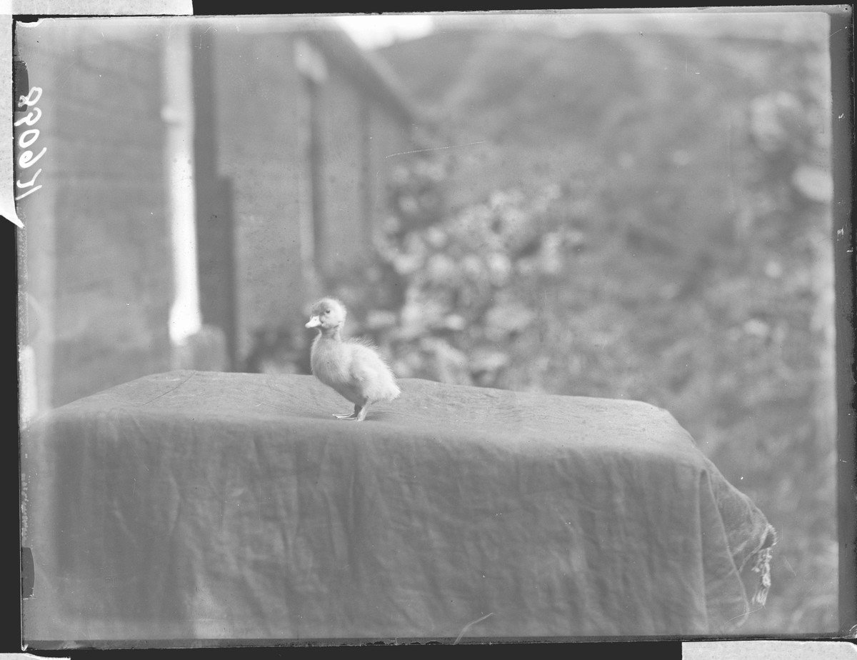 A very old duck photograph