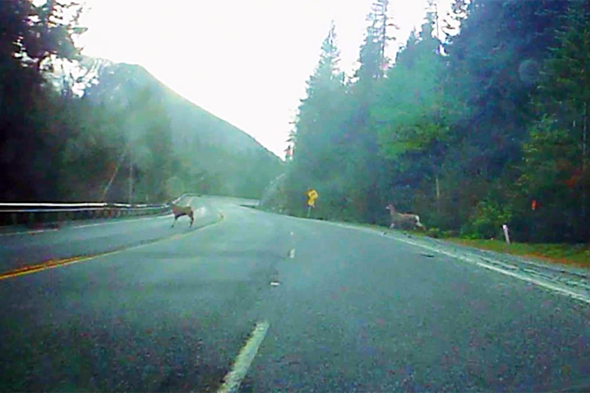 Deer on the Road!
