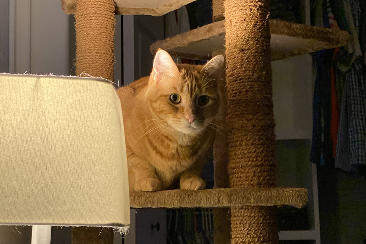 Jenny staring at me from the cat tree in my bedroom.