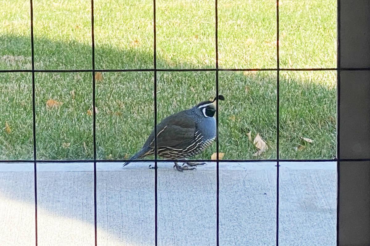 A big fat quail outside the catio.