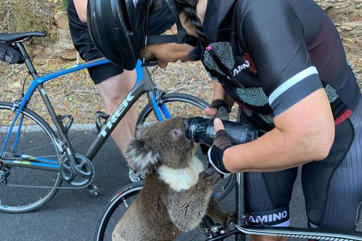 A thirsty koala being watered from a canteen by a cyclist.