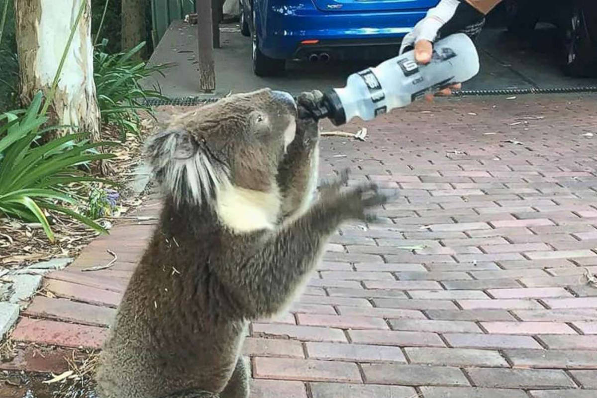 A thirsty koala being watered from a water bottle.