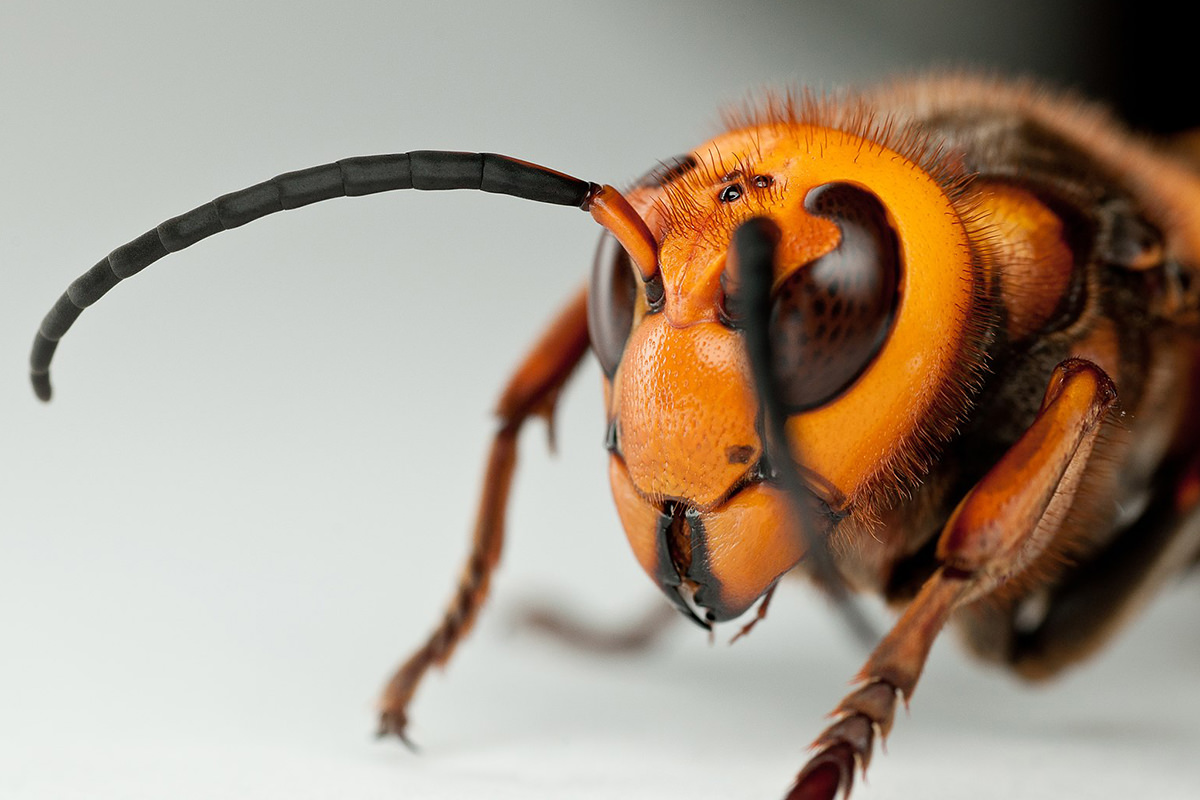 A scary-ass murder hornet close-up.