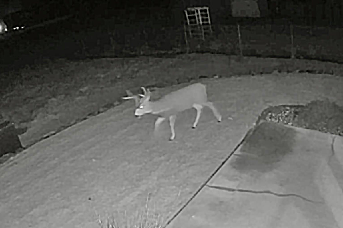 A deer walking through my back yard.