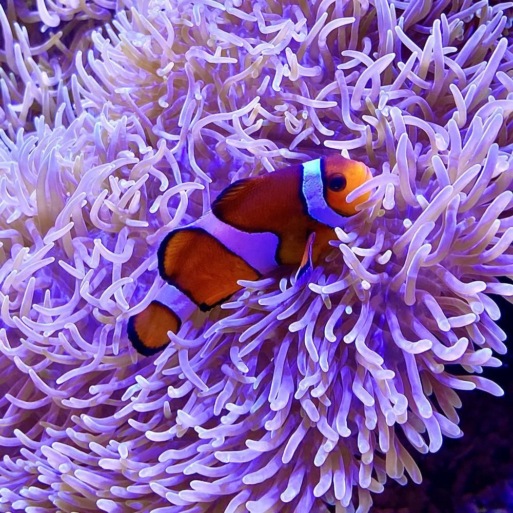 A clown fish snuggling into some living coral.