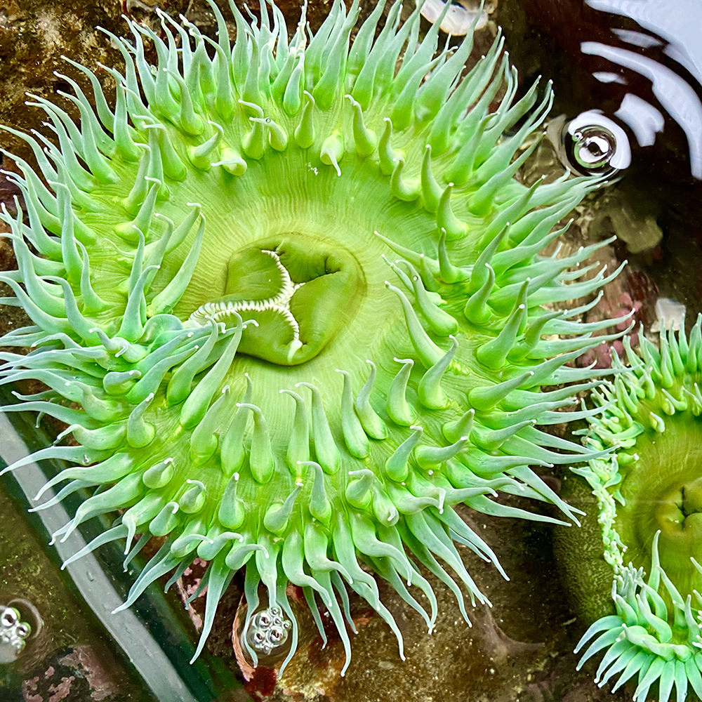 Some kind of brilliant green sea anemone in a tidal pool.
