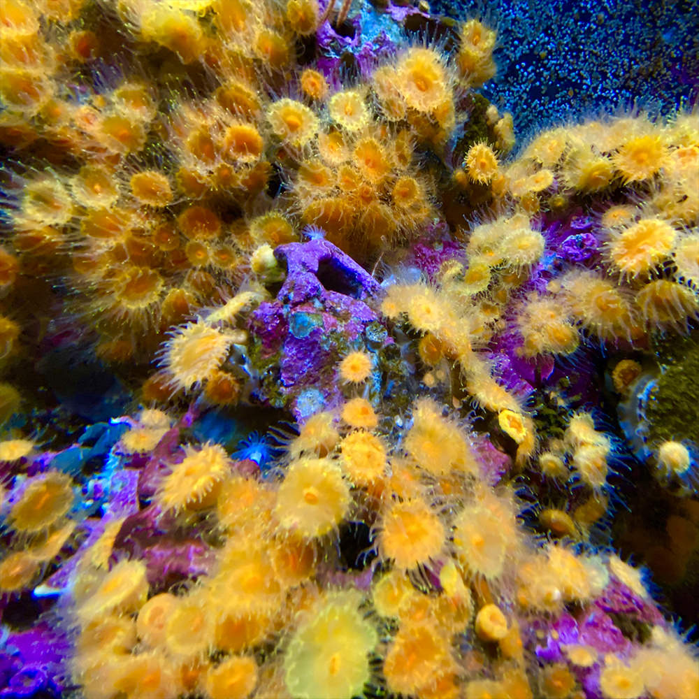Bright yellow mini sea anemones covering th bottom of a fish tank.