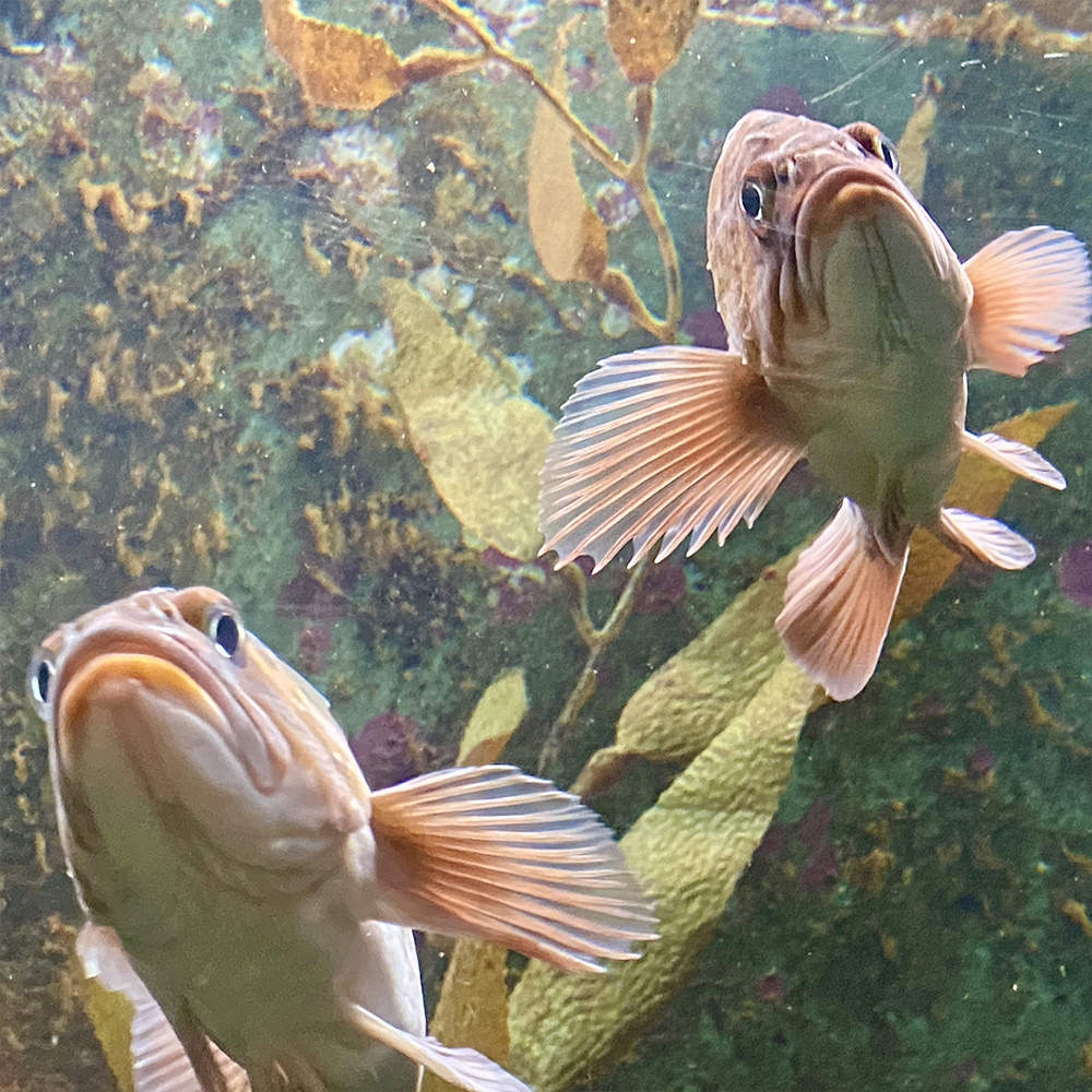Two grumpy looking fish frowning and looking at me through a fish tank window.