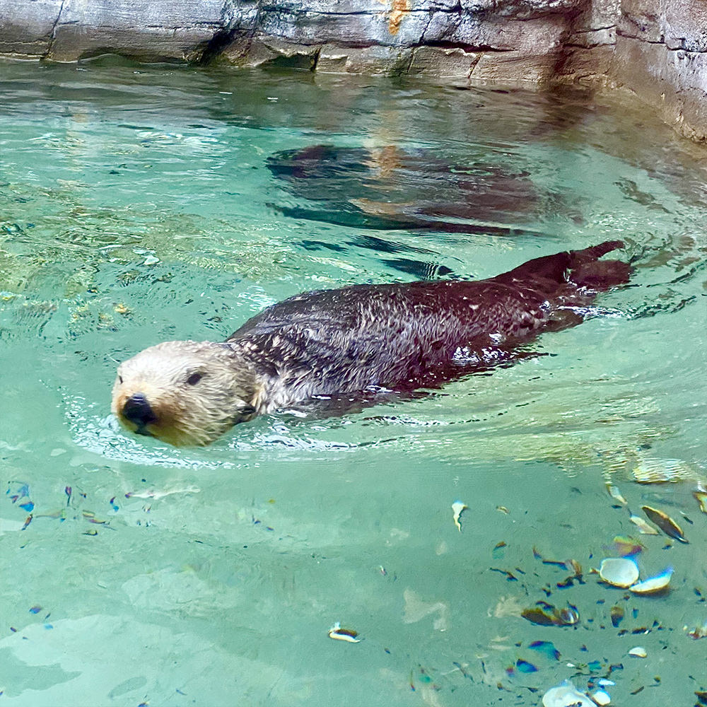 Another otter swimming in the tank and looking cute.