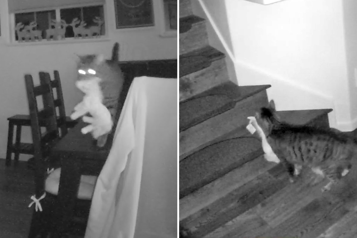 Two images... the first with security camera footage of Jake walking on the dining room table with a big toy mule in his mouth... then climbing up stairs.