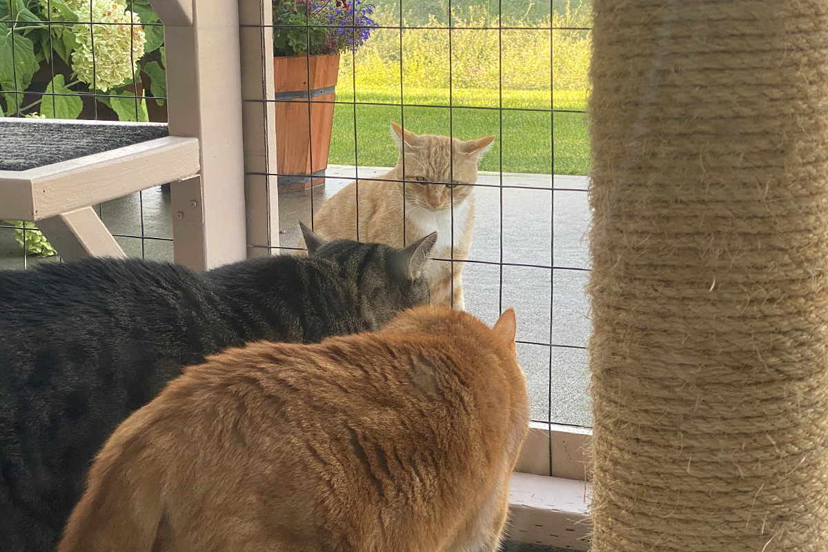 Jake and Jenny howling and hissing at a beautiful blonde cat outsie the catio.
