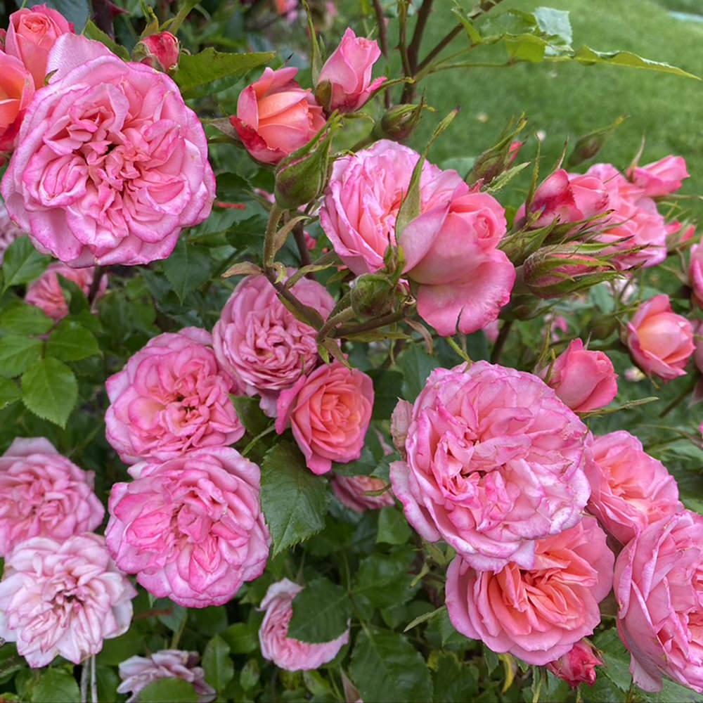 Tea Roses.