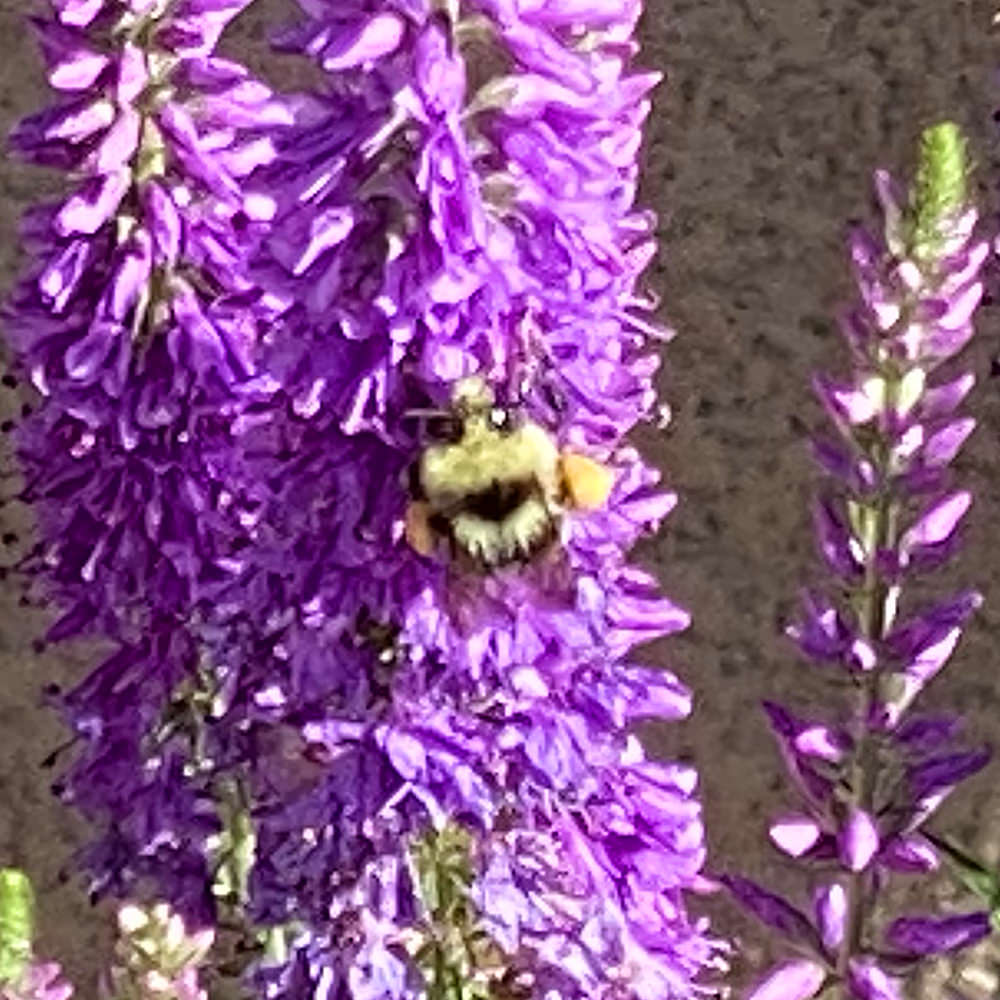 A bee on my purple flowers.