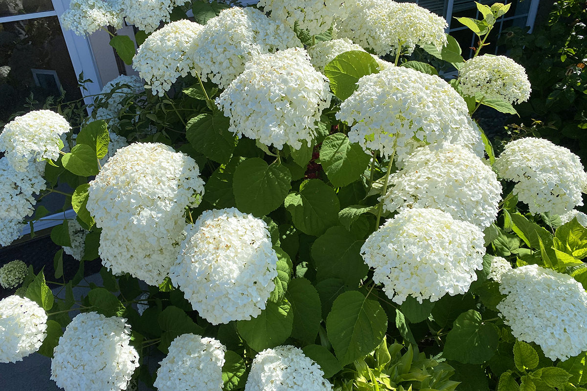 My pretty, fluffy, flowery, white hydrangeas in full bloom.