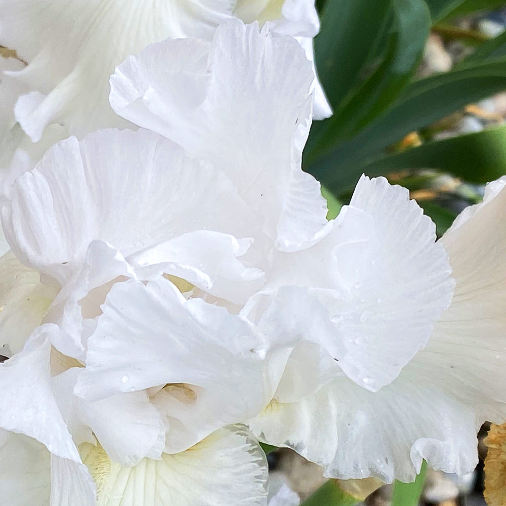 A pretty white colored iris bloom.