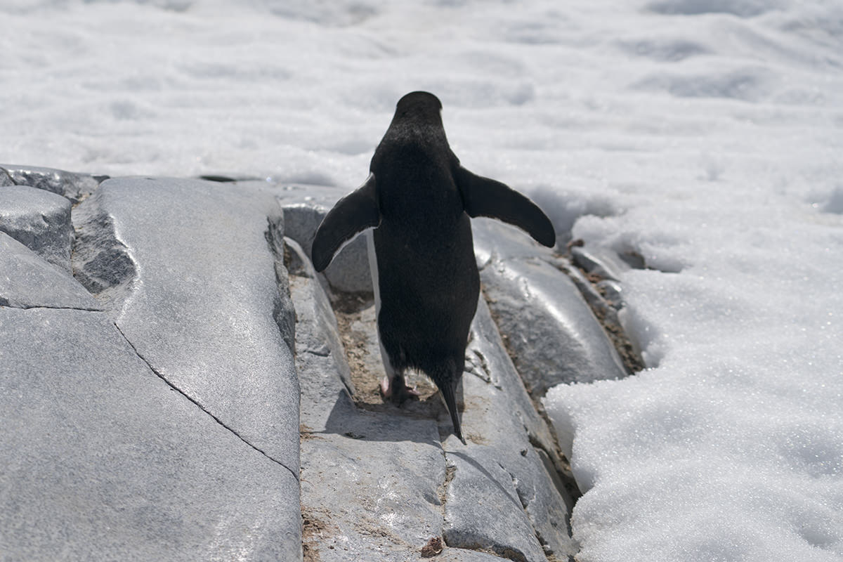 Penguin hopping away.