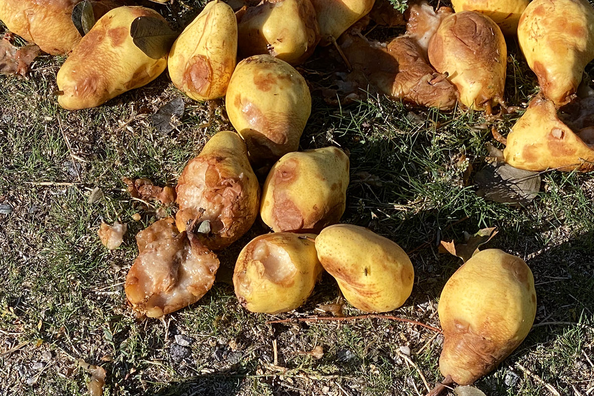 Rotten pears laying in a field.