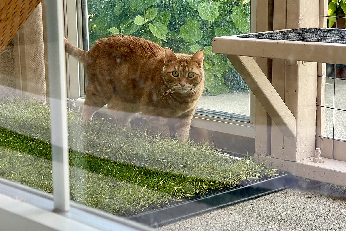 Jenny investigates the new patch of grass in the catio.