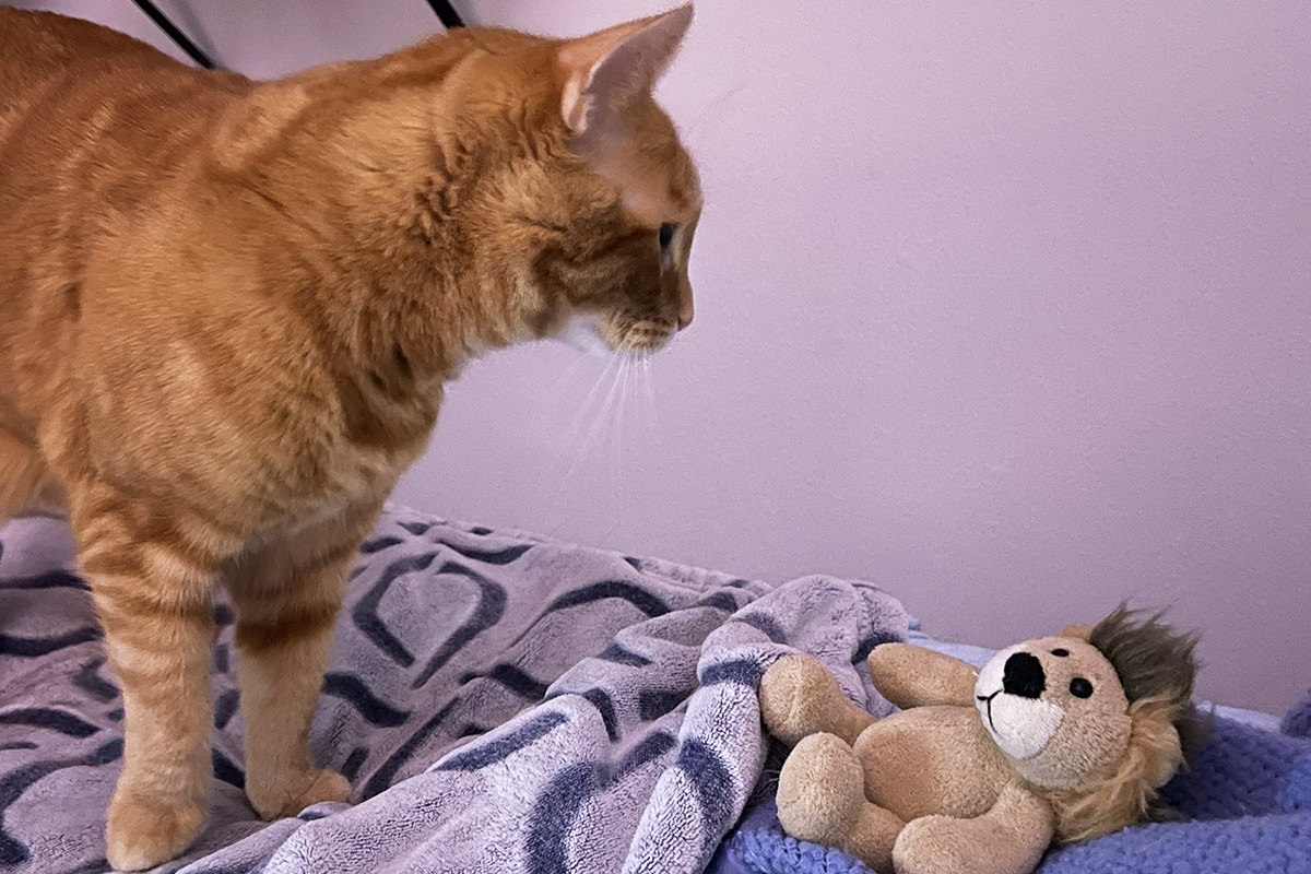 Jenny standing on my bed next to Mufasa the toy lion.
