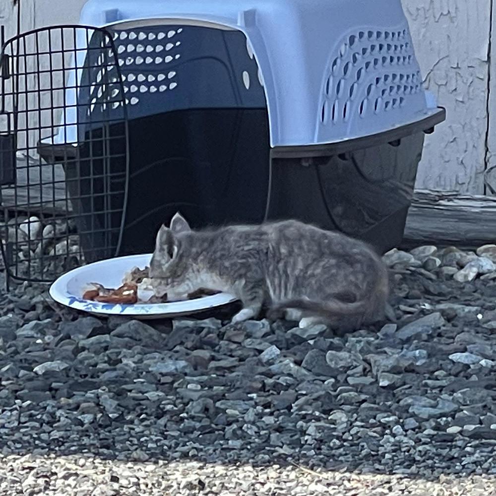 A kitten chowing down.