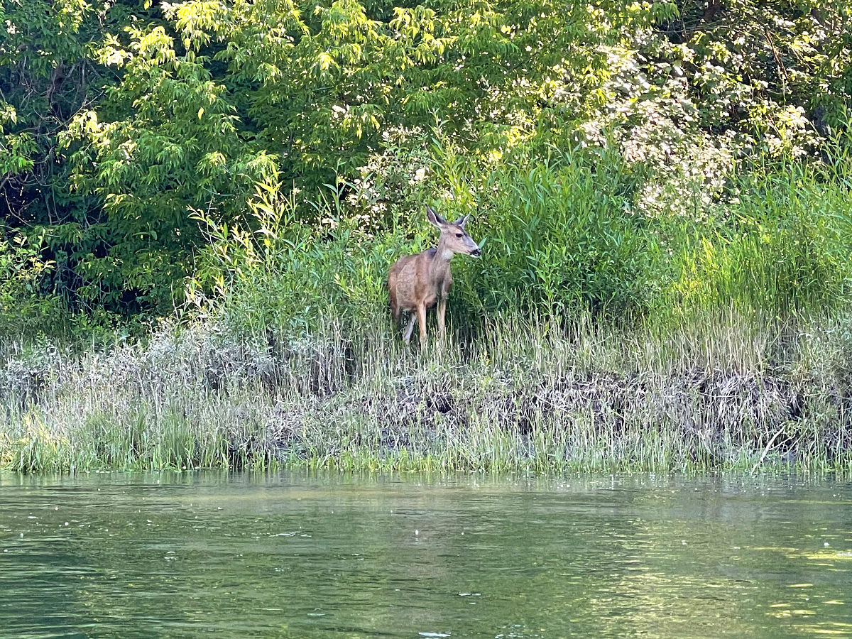 A deer on the side of the river.