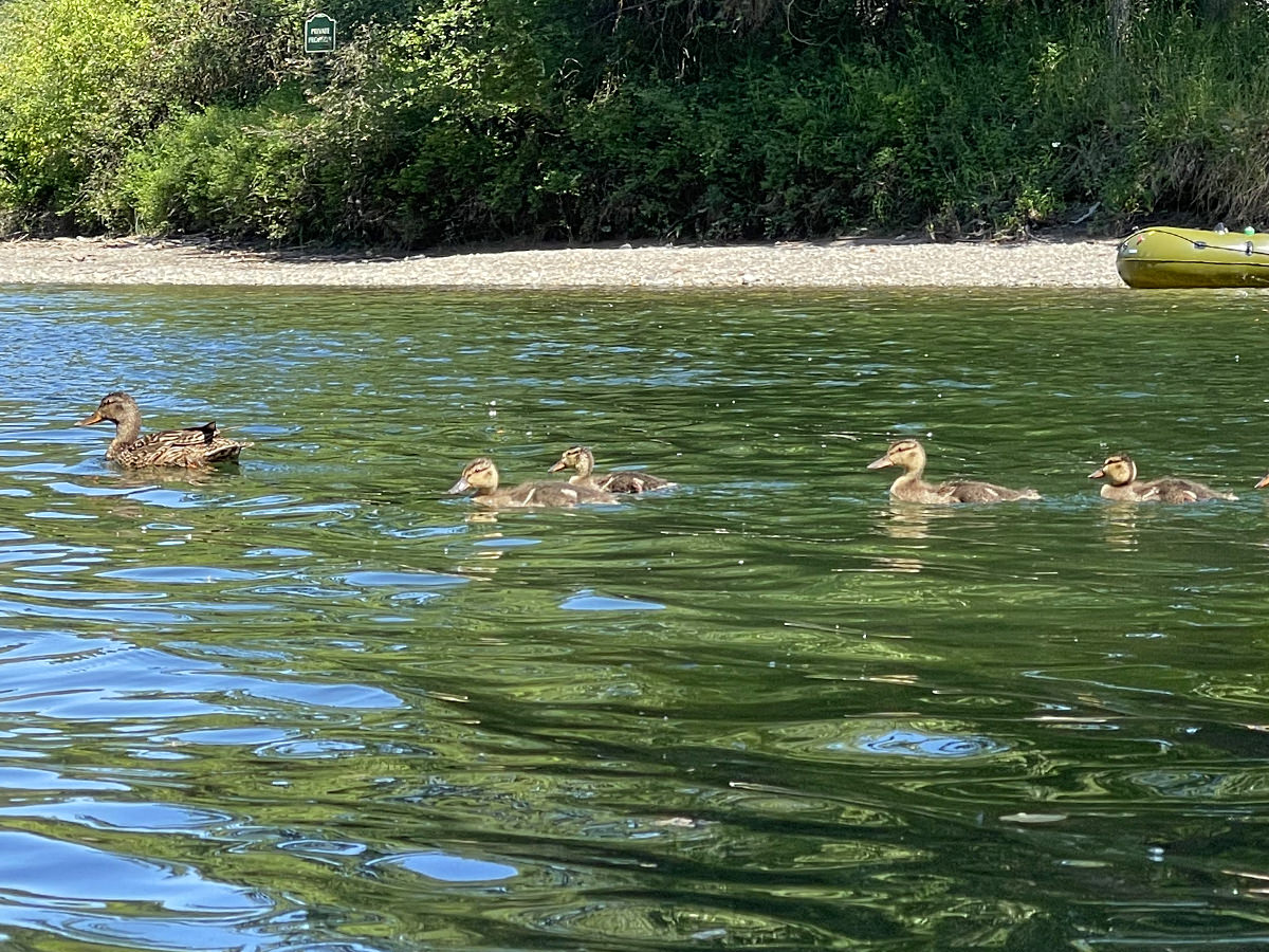 Duckies in the river.